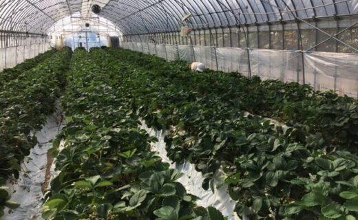 イチゴの収穫が終盤です