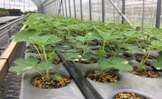 よつぼしの苗とカタツムリポット